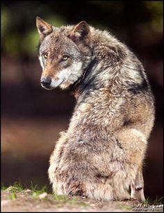 ☀ wolf