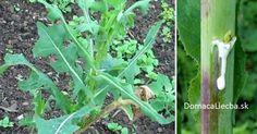 Vedeli ste, že jedná bežná bylinka, čo hojne rastie na lúkach sa svojimi účinkami podobá ópiu, no nemá žiadne jeho vedľajšie účinky?