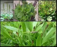 """Plantain: this """"weed"""" is likely one of the most … Herb Seeds, Medicinal Herbs, Natural Cleaning Products, Herbal Medicine, Ecology, Weed, Herbalism, Healing, Gardens"""