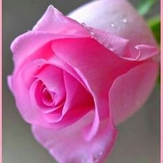 Lavender Roses, Purple Roses, Tea Roses, Pink Flowers, Beautiful Rose Flowers, Pretty Roses, Beautiful Flowers, Anemone Flower, Flower Wallpaper