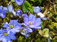 Blåsippa, Hepatica, Blue Anemone. Beatutiful!