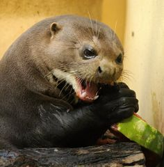 Evil Otter Eating a  Watermelon (4)
