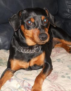 Buster...3 years old manchester terrier