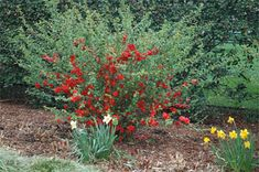 Chaenomeles speciosa 'Double Take Pink Storm' flowering quince - MANY! 4x4
