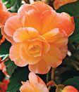 Aromatherapy: Growing scented tuberous begonias