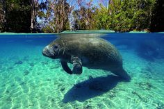 Manatee Swim & Snorkel, Crystal River, Florida