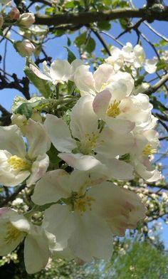 blooming apple trees in 2016.