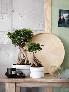 Bonsai FICUS MICROCA