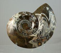 Ammonite / Love Fossils