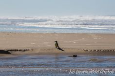 Great Kiskadee bird at the beach on a sunny day between the fresh water and the ocean