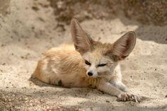 Fennec - Fennec desert fox portrait looking at you