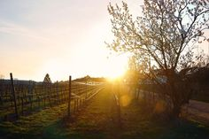 Fence Lens Flare Sunlight Tree Sunbeam Sky Beauty In Nature Sunset Nature Sun Scenics Boundary Field Grass Picket Fence Outdoors Rural Scene Growth No People Landscape Sunset_collection Sunsets Pfalz Weinberg Vineyard