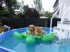 a golden on a turtle in a pool!