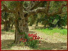 Olive groves Greece