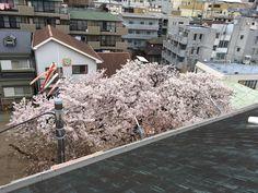 今年もお隣の幼稚園の桜が満開に