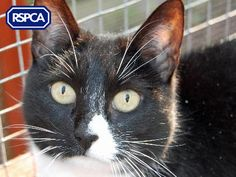 Beau, Domestic Shorthair crossbreed cat, 3 Years, RSPCA Fylde Branch Pet Search, Sadie, 3 Years, Adoption, Wildlife, English, Cats, Animals, 3 Year Olds