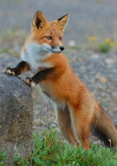 Red Fox by Kristine Sowl