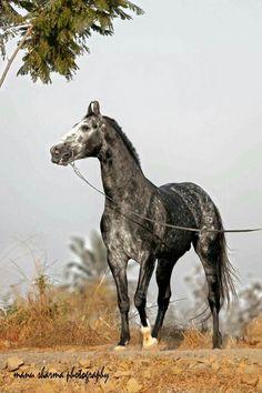 Marwari stallion.