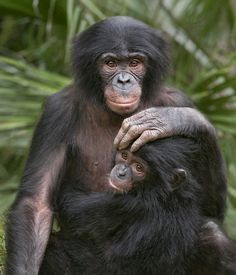 Mom Baby Bonobos By Official San Diego Zoo