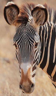 virtualpaperdolls:  Grevy's Zebra headshotPhoto by Rainbirder on Flickr