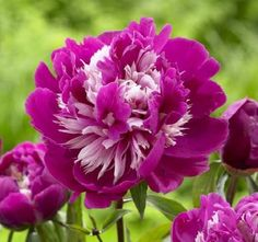 Peony Celebrity loves full sun!  This  perennial also makes a great cut flower.