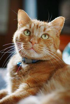 orange kitty.