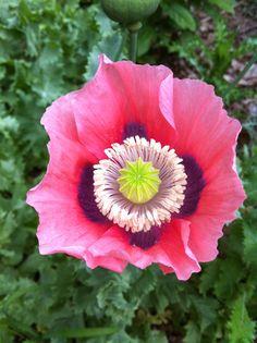Papaver hybridum drama queen drama queen poppy buy online at opium poppy flower in manchester ct today mightylinksfo