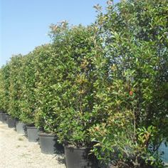 Photinia Fraseri Red Robin Height x Wide Rootball Hedging x 10 Plants