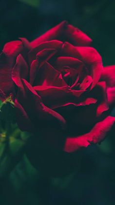 Wallpaper Red Roses Iphone Wallpapers 34 Ideas For 2019 Gold Wallpaper Background, Rose Gold Wallpaper, Flower Wallpaper, Love Wallpaper Backgrounds, Iphone Wallpapers, Exotic Flowers, Pretty Flowers, Red Flowers, Red Roses