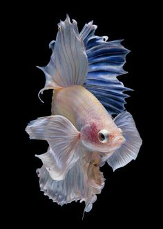 Halfmoon betta fish (da nokkaew) Tags: swimming betta eye beauty nature isolate color tropical fighting colorful pet aquarium black water background aquatic fish pace exotic Source by LovePekingese Pretty Fish, Beautiful Fish, Beautiful Pictures, Beautiful Sea Creatures, Animals Beautiful, Colorful Fish, Tropical Fish, Jellyfish Painting, Jellyfish Drawing
