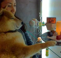 """柴犬や秋田犬は欧米でも大人気の""""ニッポン""""犬種。忠実で穏やかな気質に愛らしいルックス。(汐見)【Numero TOKYO編集長 田中杏子】  http://lexus.jp/cp/10editors/contents/numero/index.html  ※掲載写真の権利及び管理責任は各編集部にあります。LEXUS pinterestに投稿されたコメントは、LEXUSの基準により取り下げる場合があります。"""