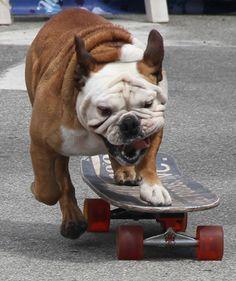 Sport bulldog
