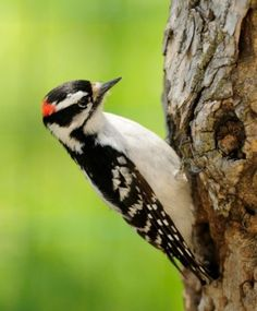 Frequent backyard visitors, Downy Woodpeckers may form pairs very early in the season, tapping out their courtship song on a tree trunk. Listen for this rhythmic sound as early as January. (Photo by Linda Petersen) Get more info on this bird: birdsandblooms.com