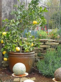 Fruit Plants In Pots In The Small Backyard 20 Best Picture For DIY Edible pot For Your Taste You are looking for something, and it is going to tell you exactly what you are looking for, and you didn't Potted Fruit Trees, Fruit Plants, Small Yard Landscaping, Backyard Ideas For Small Yards, Patio Plants, Potted Plants, Ikebana, Container Gardening, Gardening Tips