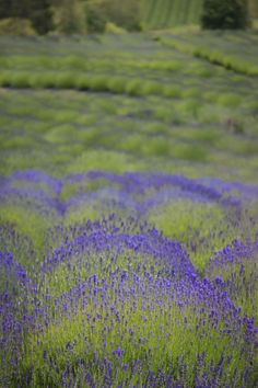 Pelindaba Lavender Farm, San Juan Island. The hubby and I went in the offseason, and it was still beautiful! I want to buy every lavender product they make!