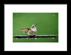Hummingbird In The Rain Framed Print by Christina Rollo.  All framed prints are professionally printed, framed, assembled, and shipped within 3 - 4 business days and delivered ready-to-hang on your wall. Choose from multiple print sizes and hundreds of frame and mat options.