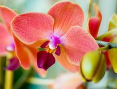 Peach phalaenopsis orchid :)