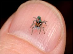 Peacock Spider – Australia's Show Off Super Hero Spider ~ The Ark In Space. (sooo tiny)