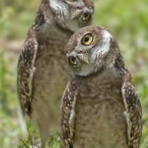 Burrowing Owls Photo by Michael Levine