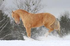 Gallery - Category: Quarter Horse