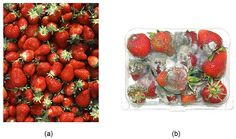 """What is the best way to keep your strawberries from molding? In the """"Save Those Spoiling Strawberries!"""" #science project, students experiment with thermotherapy to find out if it can help prolong the life of strawberries. [Source: Science Buddies, http://www.sciencebuddies.org/science-fair-projects/project_ideas/FoodSci_p064.shtml?from=Pinterest] #STEM #scienceproject"""