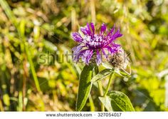 Centaurea pseudophrygia C. A. Mey. with crystals of frost