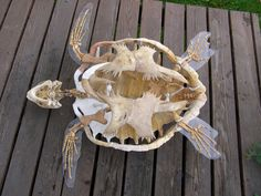 Image result for green turtle skeleton