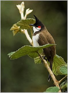 Red Whiskered Bulbul 1 | Flickr - Photo Sharing!