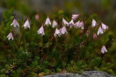 Twinflower, Linnaea borealis, vanamo