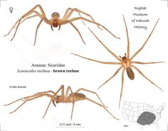 "The brown recluse spider or violin spider, Loxosceles reclusa, Sicariidae (formerly placed in a family ""Loxoscelidae"") is a spider with a venomous bite. Brown recluse spiders are usually between 6–20 mm (1⁄4 in and 3⁄4 in), but may grow larger. While typically light to medium brown, they range in color from cream-colored to dark brown or blackish gray. Nicknames: fiddleback spider, brown fiddler, or violin spider."
