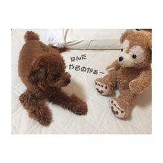 . . . 4コマ漫画風に… . ①ダッフィーはcotoのライバル👊🏻😡 今日もライバルを意識して、戦闘態勢に…… . . . #coto #family #愛犬 #pet #love #トイプードル #成長記録 #camera #cute #犬バカ部 #dog #smile #happy #だいすき #poodle #good #picture #お気に入り #かわいい #ラインスタンプ #写真撮ってる人と繋がりたい #カメラ女子 #カメラ好きな人と繋がりたい #カメラ