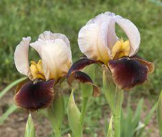 AB Iris germanica 'Navajo Velvet' (McAllister, 2009)