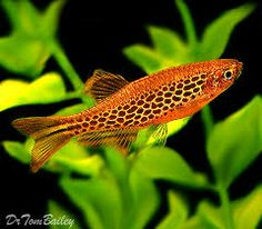"Fire Ring Danio. Freshwater tropical. Max size: 2.5"". As with other danios, hardy, active schooling fish."