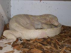 Is that an albino Komodo dragon? Me- Yo that's an albino Dragon, sick! Amazing Animals, Unique Animals, Adorable Animals, Black Animals, Animals And Pets, Strange Animals, Animals Planet, Funny Animals, Pink Eyes